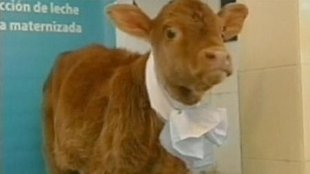 Rosita ISA mucca produce latte umano