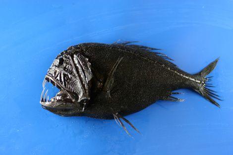 Anoplogaster cornuta abissi oceanici vita 10 volte