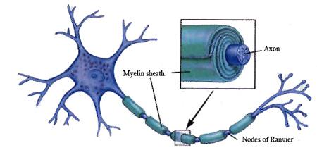 Carla Taveggia mielina sclerosi multipla