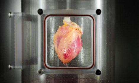 cuore rigenerato