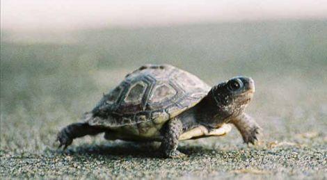 turtle slow