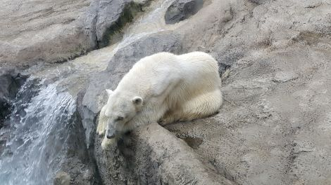 orso polare depresso
