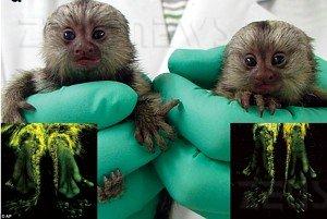 Scimmie fluorescenti marmoset malattie ereditarie