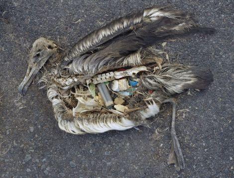 albatross plastica uccelli marini