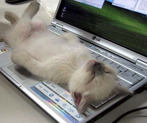 cat kitten asleep on laptop