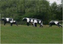 Mucche finte al pascolo