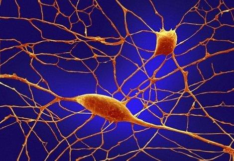 Neuroni da cellule del fegato Samuele Marro