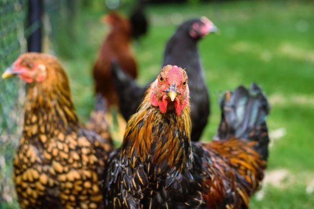 gogochicken riconoscimento facciale polli
