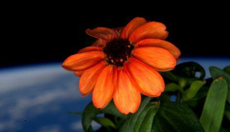 zinnia fiore iss