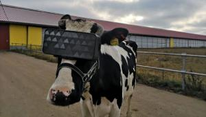 cow vr